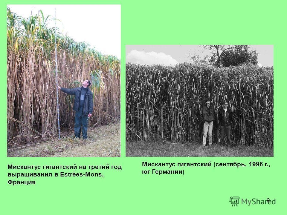 9 Мискантус гигантский на третий год выращивания в Estrées-Mons, Франция Мискантус гигантский (сентябрь, 1996 г., юг Германии)