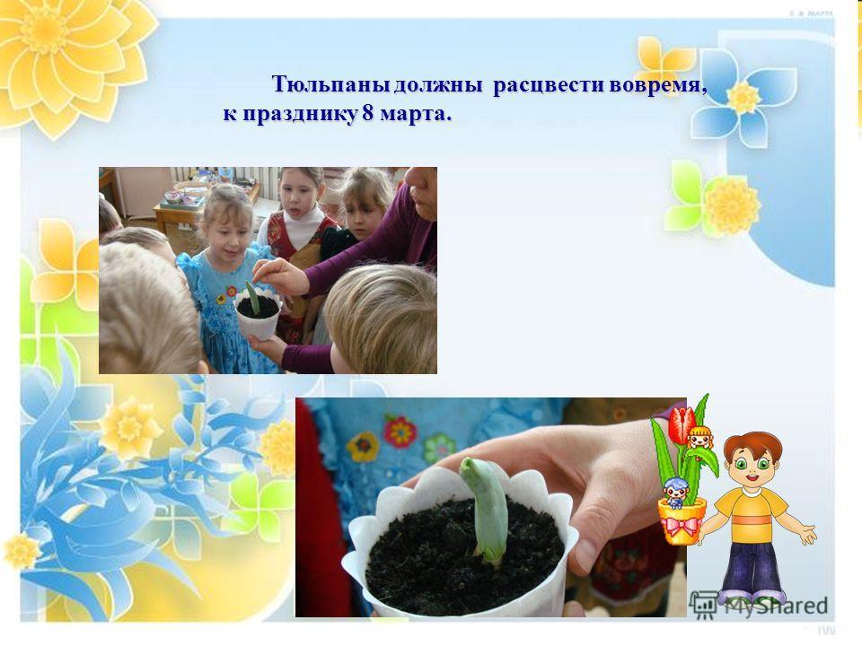 . Тюльпаны должны расцвести вовремя, Тюльпаны должны расцвести вовремя, к празднику 8 марта.