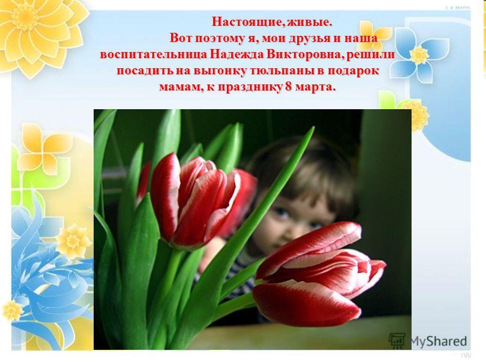 Настоящие, живые. Вот поэтому я, мои друзья и наша воспитательница Надежда Викторовна, решили посадить на выгонку тюльпаны в подарок мамам, к празднику 8 марта. Вот поэтому я, мои друзья и наша воспитательница Надежда Викторовна, решили посадить на в