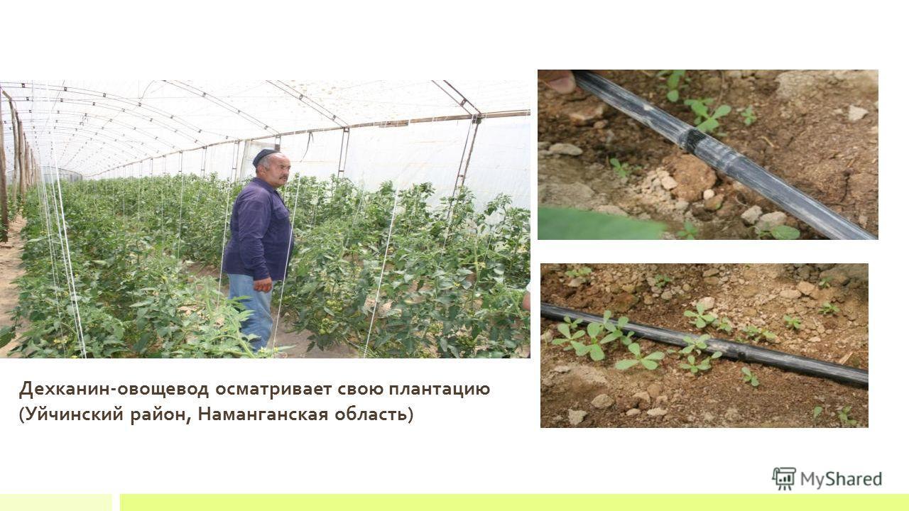 Дехканин-овощевод осматривает свою плантацию (Уйчинский район, Наманганская область)