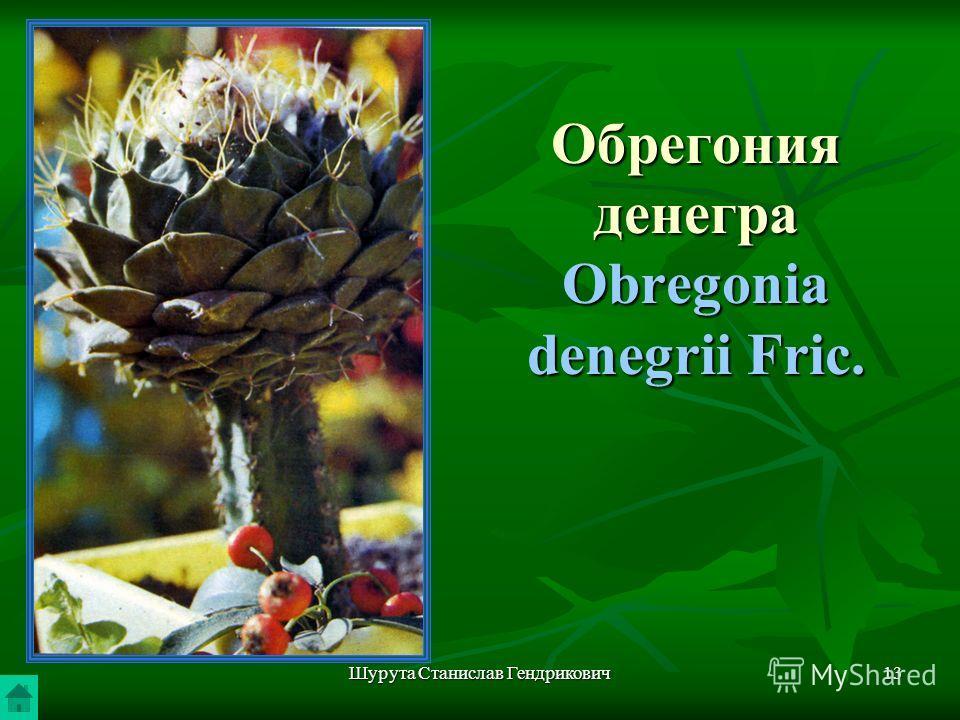 Шурута Станислав Гендрикович13 Обрегония денегра Obregonia denegrii Fric.