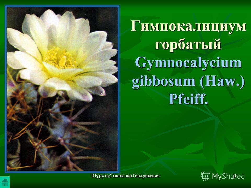 Шурута Станислав Гендрикович9 Гимнокалициум горбатый Gymnocalycium gibbosum (Haw.) Pfeiff.