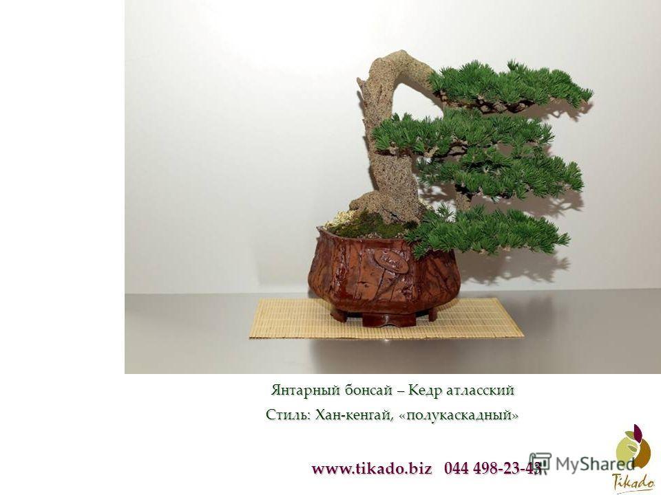 www.tikado.biz 044 498-23-43 Янтарный бонсай – Кедр атласский Стиль: Хан-кенгай, «полукаскадный»