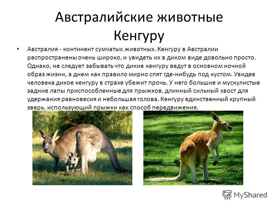 Австралийские животные Кенгуру Австралия - континент сумчатых животных. Кенгуру в Австралии распространены очень широко, и увидеть их в диком виде довольно просто. Однако, не следует забывать что дикие кенгуру ведут в основном ночной образ жизни, а д