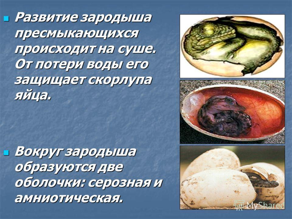 Рептилии вместо икринок откладывают амниотические яйца, внутри которых Рептилии вместо икринок откладывают амниотические яйца, внутри которых имеется имеется мешочек, мешочек, заполненный заполненный жидкостью и жидкостью и зародыш, зародыш, связанны
