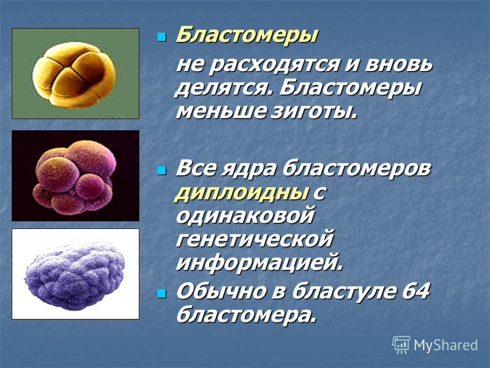 БЛАСТУЛА – стадия, БЛАСТУЛА – стадия, в которой зародыш представляет собой многоклеточную однослойную сферу в которой зародыш представляет собой многоклеточную однослойную сферу с первичной с первичной полостью - бластоцелью. полостью - бластоцелью.