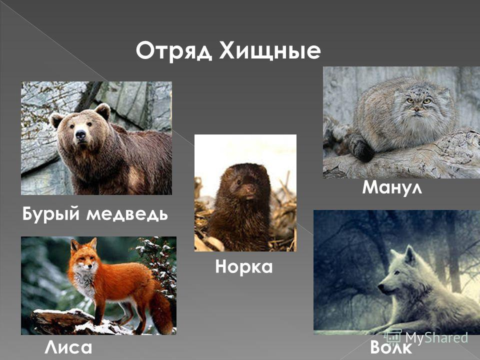 Отряд Хищные Бурый медведь Лиса Норка Манул Волк