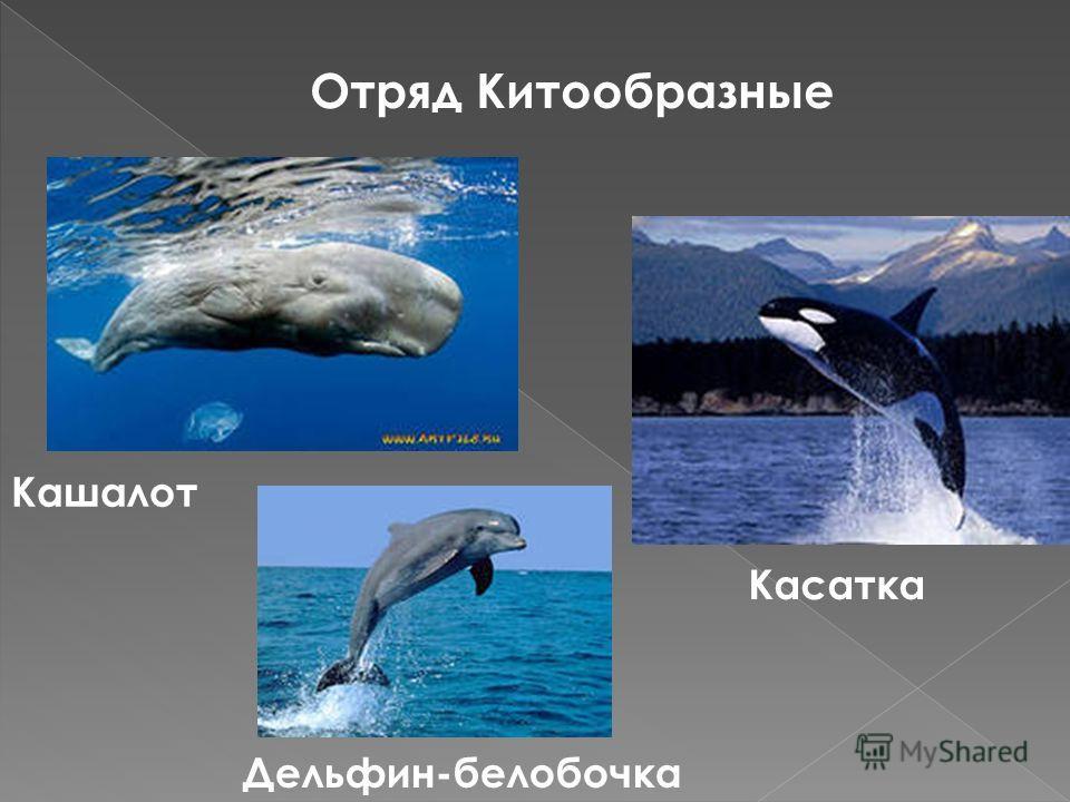 Отряд Китообразные Кашалот Касатка Дельфин-белобочка