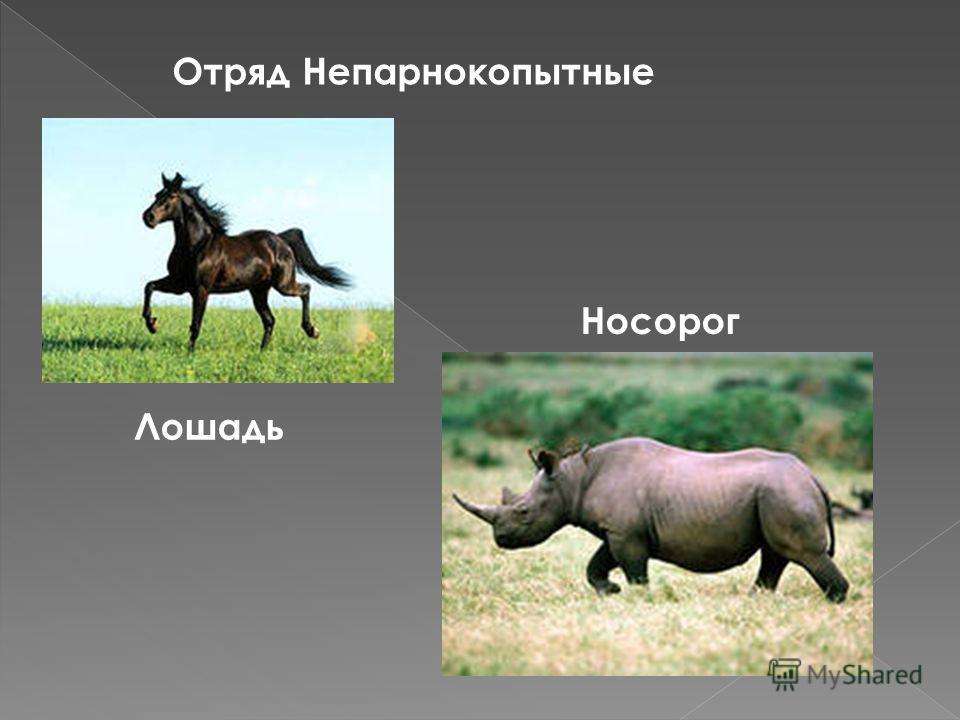 Отряд Непарнокопытные Лошадь Носорог