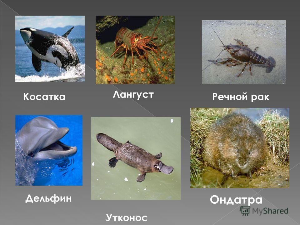 Косатка Лангуст Утконос Речной рак Ондатра Дельфин