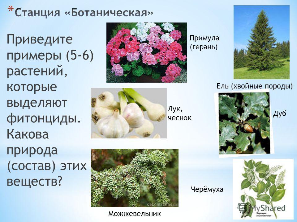 Приведите примеры (5-6) растений, которые выделяют фитонциды. Какова природа (состав) этих веществ? Ель (хвойные породы) Примула (герань) Дуб Лук, чеснок Можжевельник Черёмуха