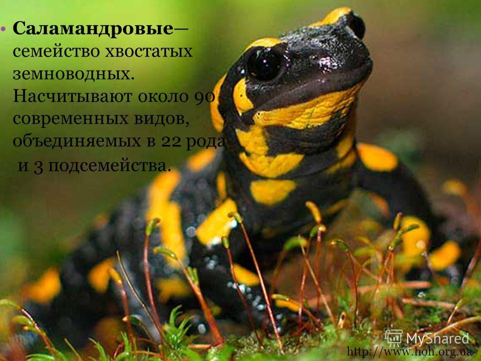 Саламандровые семейство хвостатых земноводных. Насчитывают около 90 современных видов, объединяемых в 22 рода и 3 подсемейства. http://www.hoh.org.ua
