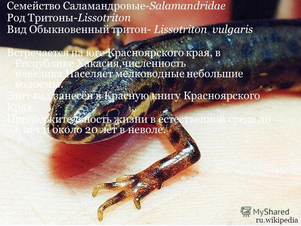 Семейство Саламандровые-Salamandridae Род Тритоны-Lissotriton Вид Обыкновенный тритон- Lissotriton vulgaris Встречается на юге Красноярского края, в Республике Хакасия,численность невелика.Населяет мелководные небольшие водоемы. Этот вид занесён в Кр