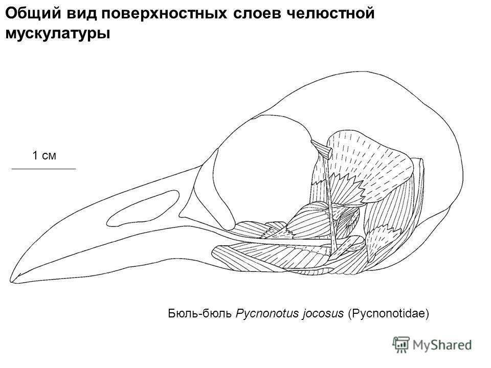 1 см Общий вид поверхностных слоев челюстной мускулатуры Бюль-бюль Pycnonotus jocosus (Pycnonotidae)