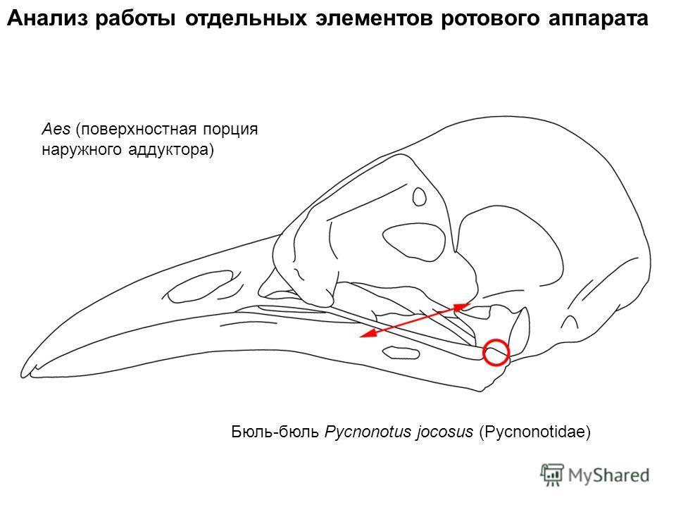 Aes (поверхностная порция наружного аддуктора) Анализ работы отдельных элементов ротового аппарата Бюль-бюль Pycnonotus jocosus (Pycnonotidae)