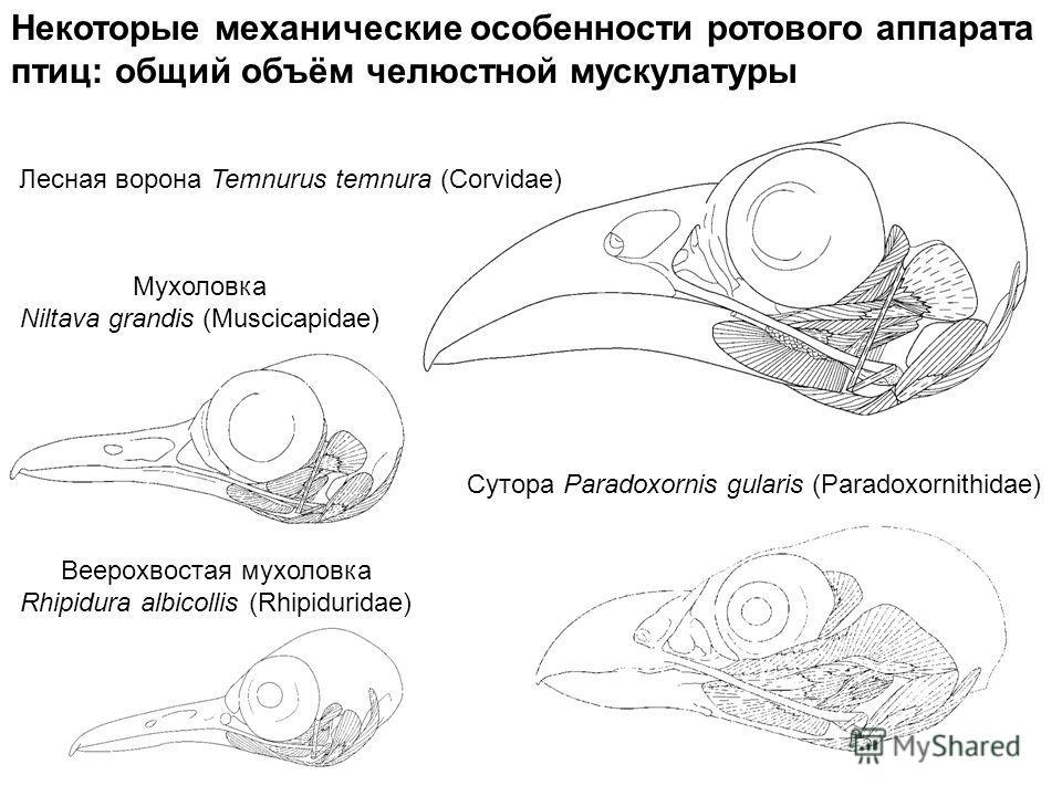 Некоторые механические особенности ротового аппарата птиц: общий объём челюстной мускулатуры Лесная ворона Temnurus temnura (Corvidae) Мухоловка Niltava grandis (Muscicapidae) Веерохвостая мухоловка Rhipidura albicollis (Rhipiduridae) Сутора Paradoxo