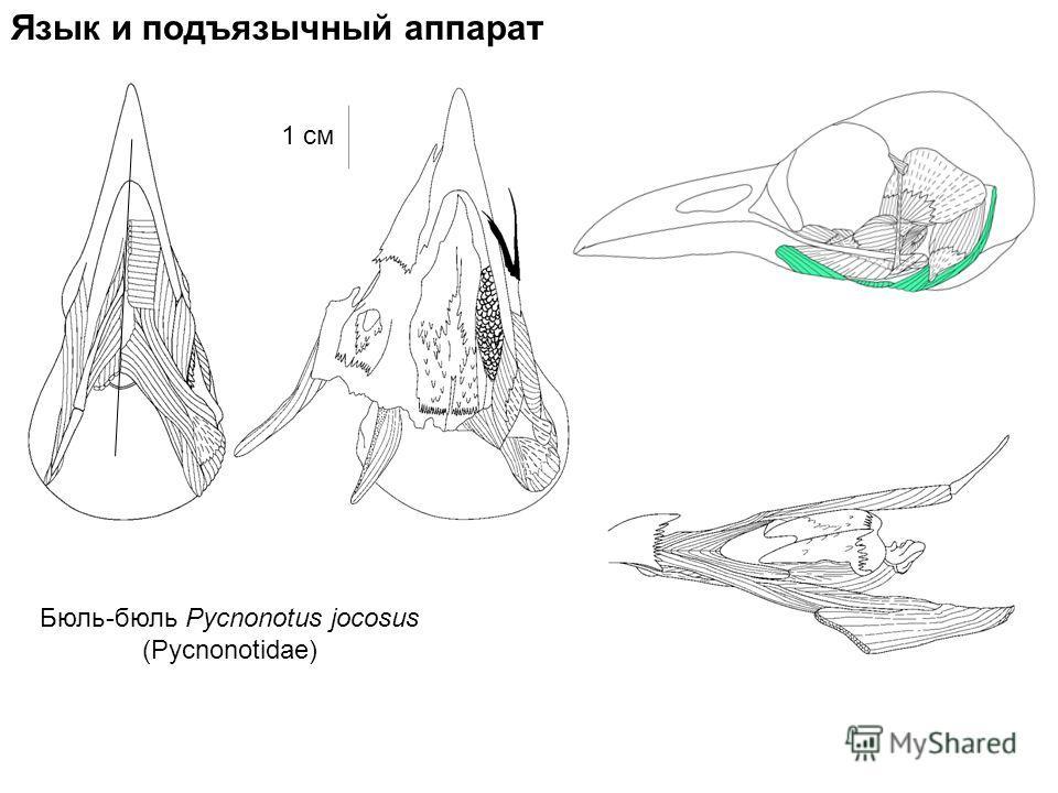 Язык и подъязычный аппарат Бюль-бюль Pycnonotus jocosus (Pycnonotidae) 1 см