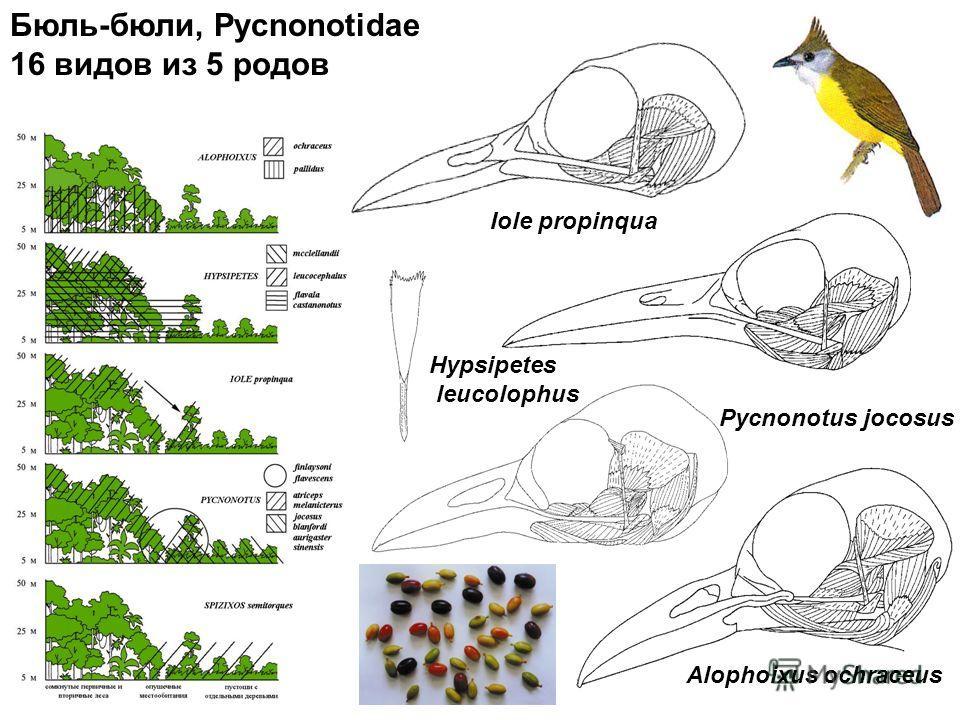 Бюль-бюли, Pycnonotidae 16 видов из 5 родов Iole propinqua Hypsipetes leucolophus Pycnonotus jocosus Alophoixus ochraceus