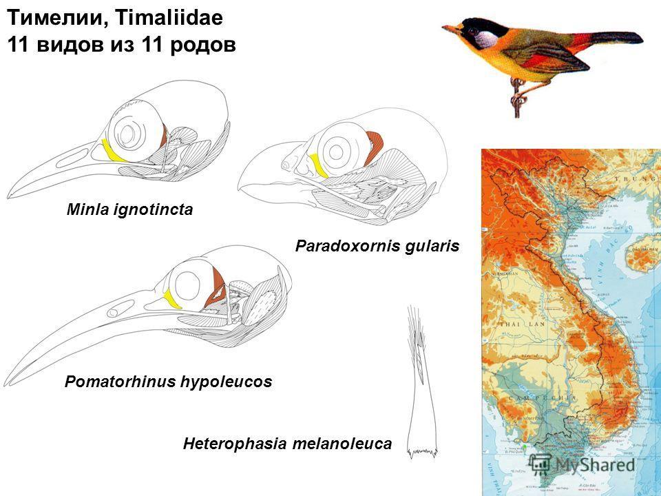 Тимелии, Timaliidae 11 видов из 11 родов Minla ignotincta Pomatorhinus hypoleucos Paradoxornis gularis Heterophasia melanoleuca