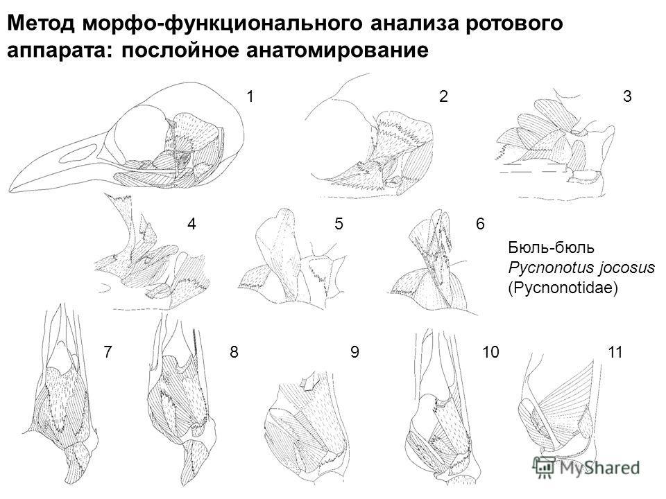 Метод морфо-функционального анализа ротового аппарата: послойное анатомирование 123 456 7891011 Бюль-бюль Pycnonotus jocosus (Pycnonotidae)