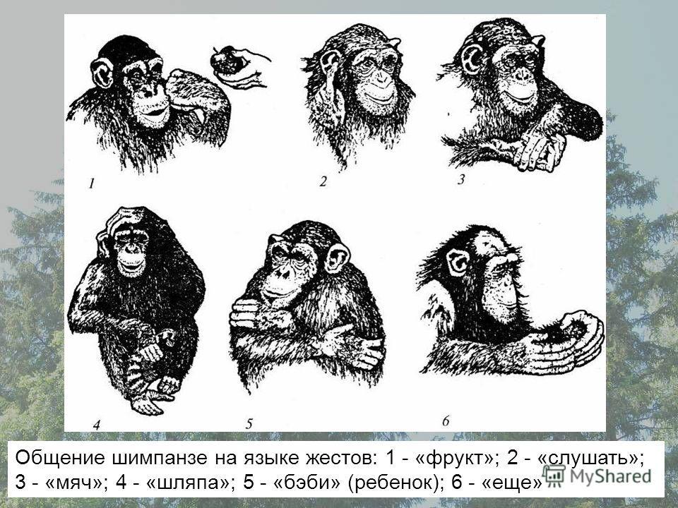 Общение шимпанзе на языке жестов: 1 - «фрукт»; 2 - «слушать»; 3 - «мяч»; 4 - «шляпа»; 5 - «бэби» (ребенок); 6 - «еще»