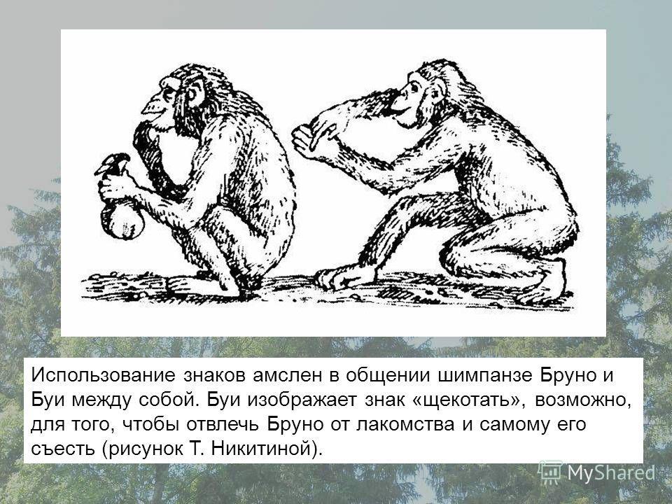 Использование знаков амслен в общении шимпанзе Бруно и Буи между собой. Буи изображает знак «щекотать», возможно, для того, чтобы отвлечь Бруно от лакомства и самому его съесть (рисунок Т. Никитиной).