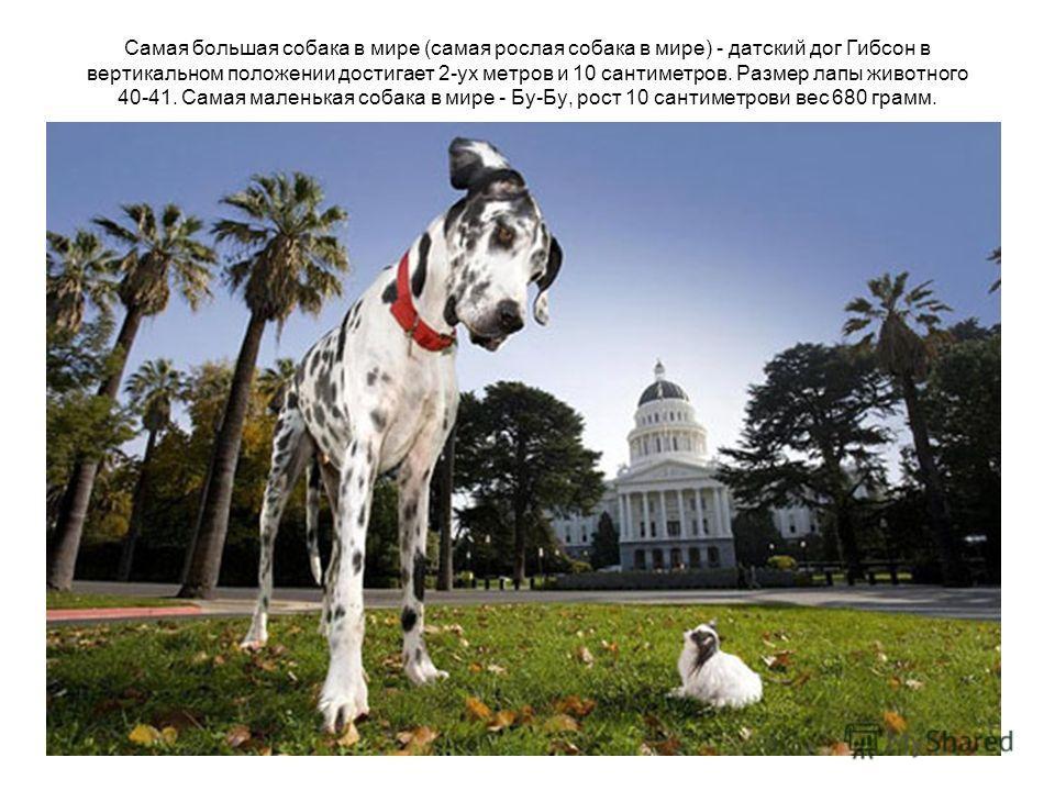 Самая большая собака в мире (самая рослая собака в мире) - датский дог Гибсон в вертикальном положении достигает 2-ух метров и 10 сантиметров. Размер лапы животного 40-41. Самая маленькая собака в мире - Бу-Бу, рост 10 сантиметрови вес 680 грамм.