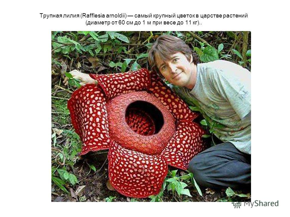 Трупная лилия (Rafflesia arnoldii) самый крупный цветок в царстве растений (диаметр от 60 см до 1 м при весе до 11 кг)..