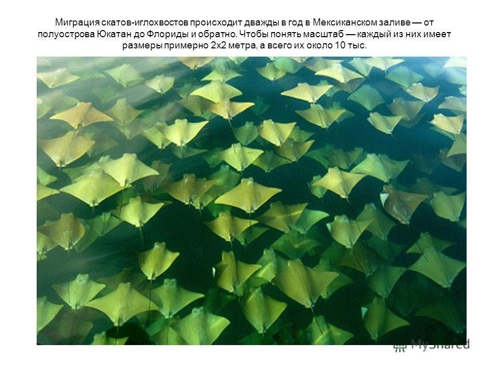 Миграция скатов-иглохвостов происходит дважды в год в Мексиканском заливе от полуострова Юкатан до Флориды и обратно. Чтобы понять масштаб каждый из них имеет размеры примерно 2х2 метра, а всего их около 10 тыс.