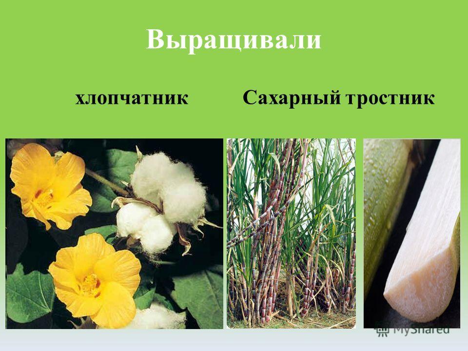 Выращивали хлопчатникСахарный тростник