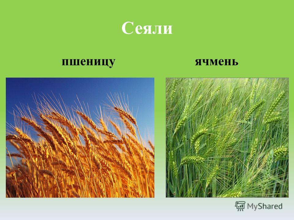 Сеяли пшеницу ячмень
