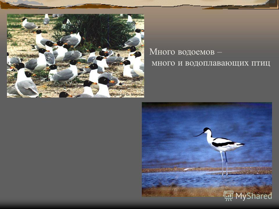 Много водоемов – много и водоплавающих птиц