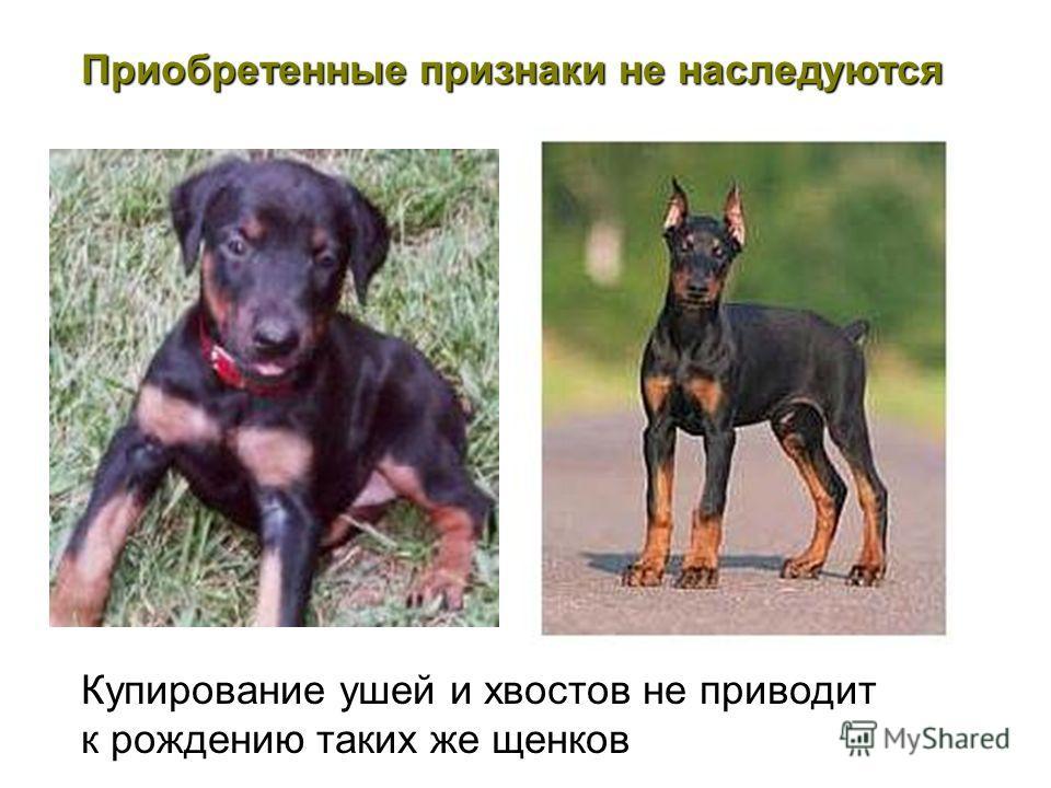 Приобретенные признаки не наследуются Купирование ушей и хвостов не приводит к рождению таких же щенков