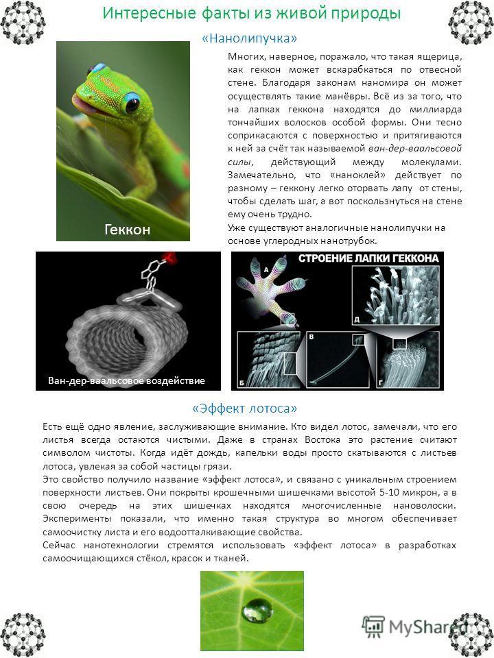 Интересные факты из живой природы «Нанолипучка» Многих, наверное, поражало, что такая ящерица, как геккон может вскарабкаться по отвесной стене. Благодаря законам наномира он может осуществлять такие манёвры. Всё из за того, что на лапках геккона нах