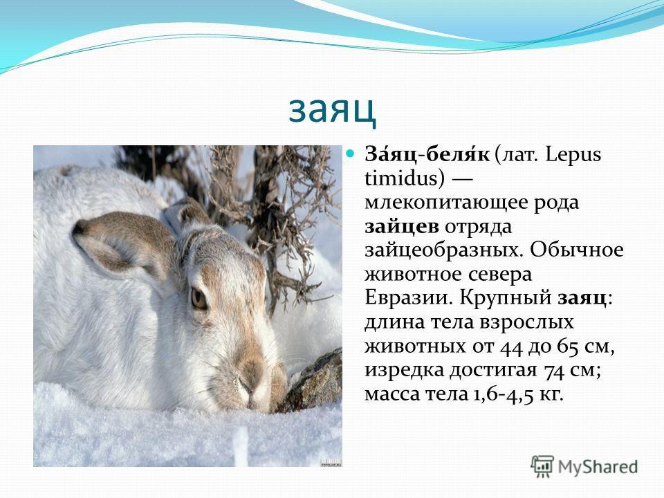 заяц За́яц-беля́к (лат. Lepus timidus) млекопитающее рода зайцев отряда зайцеобразных. Обычное животное севера Евразии. Крупный заяц: длина тела взрослых животных от 44 до 65 см, изредка достигая 74 см; масса тела 1,6-4,5 кг.