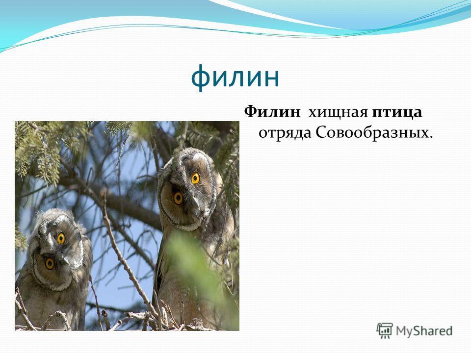 филин Филин хищная птица отряда Cовообразных.