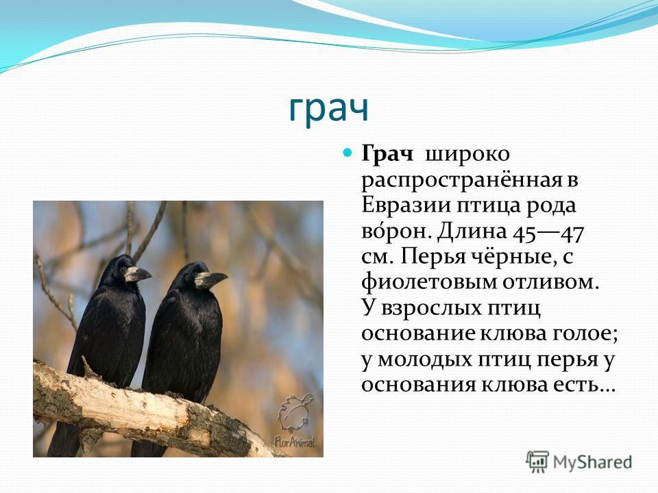 грач Грач широко распространённая в Евразии птица рода во́рон. Длина 4547 см. Перья чёрные, с фиолетовым отливом. У взрослых птиц основание клюва голое; у молодых птиц перья у основания клюва есть…