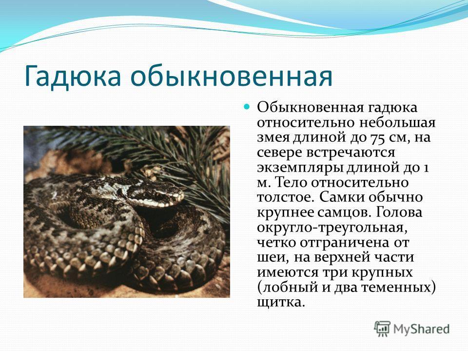 Гадюка обыкновенная Обыкновенная гадюка относительно небольшая змея длиной до 75 см, на севере встречаются экземпляры длиной до 1 м. Тело относительно толстое. Самки обычно крупнее самцов. Голова округло-треугольная, четко отграничена от шеи, на верх