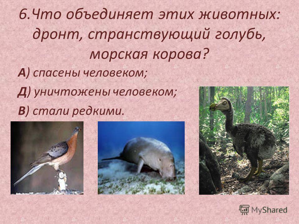 6.Что объединяет этих животных: дронт, странствующий голубь, морская корова? А) спасены человеком; Д) уничтожены человеком; В) стали редкими.