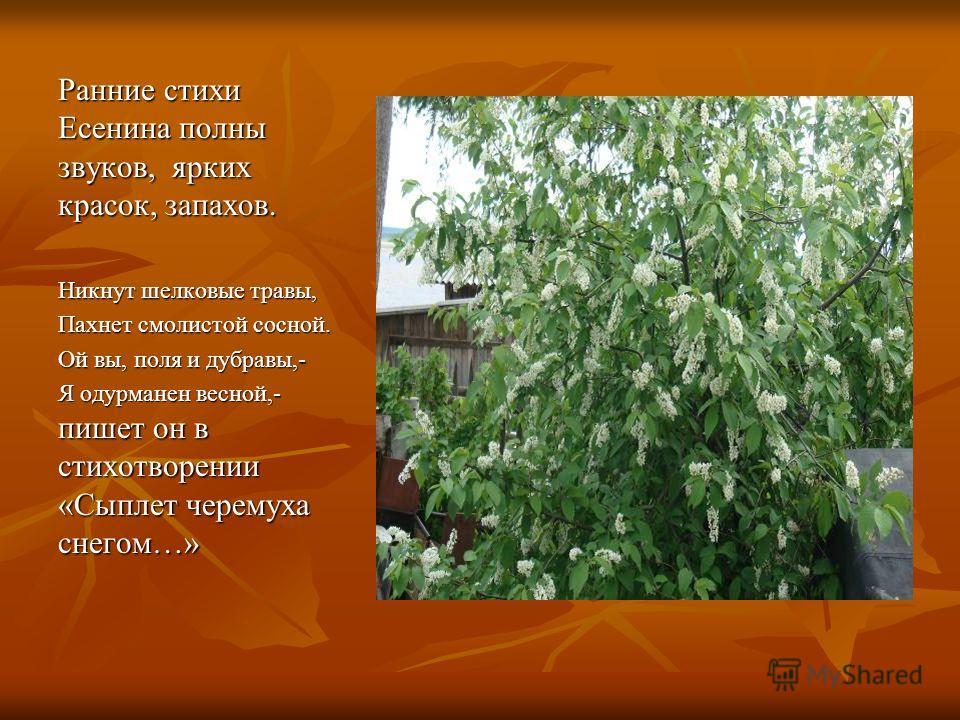 Ранние стихи Есенина полны звуков, ярких красок, запахов. Никнут шелковые травы, Пахнет смолистой сосной. Ой вы, поля и дубравы,- Я одурманен весной,- пишет он в стихотворении «Сыплет черемуха снегом…»