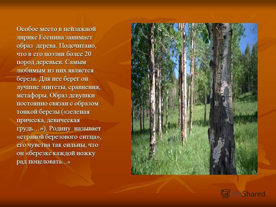 Особое место в пейзажной лирике Есенина занимает образ дерева. Подсчитано, что в его поэзии более 20 пород деревьев. Самым любимым из них является береза. Для нее берег он лучшие эпитеты, сравнения, метафоры. Образ девушки постоянно связан с образом