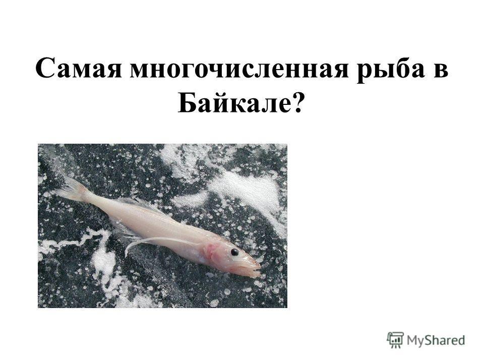 Самая многочисленная рыба в Байкале?