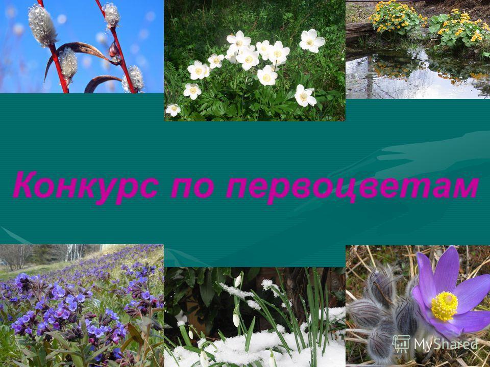 Конкурс по первоцветам