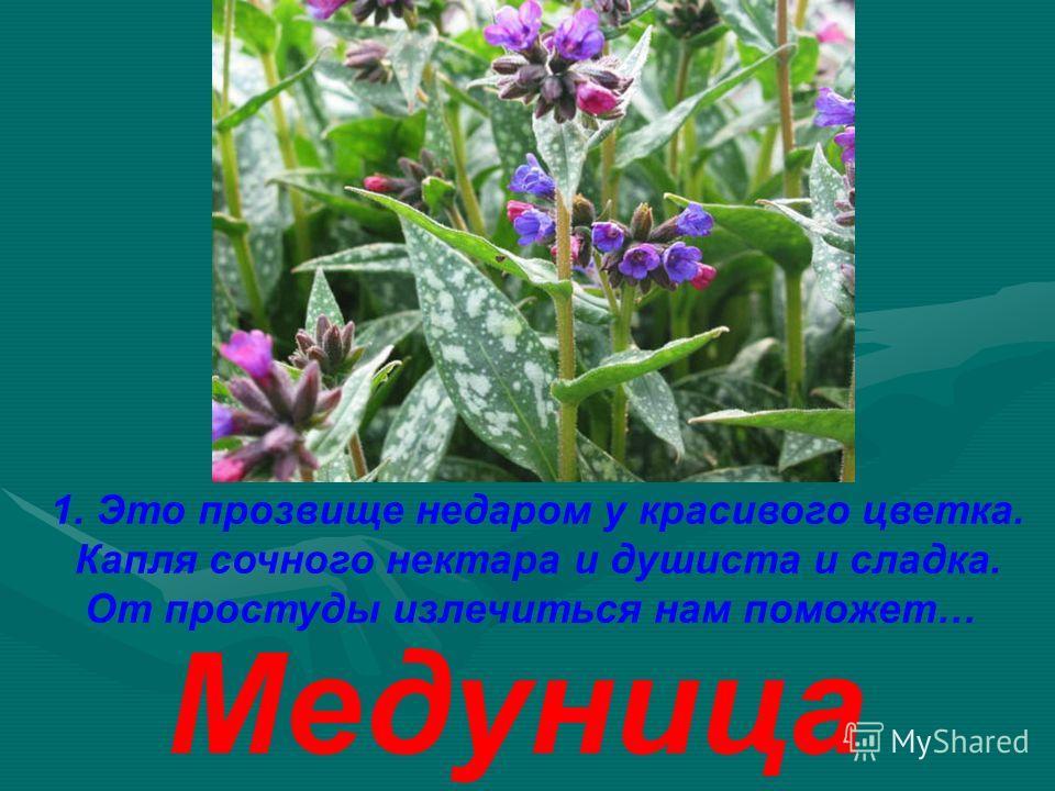 1. Это прозвище недаром у красивого цветка. Капля сочного нектара и душиста и сладка. От простуды излечиться нам поможет… Медуница