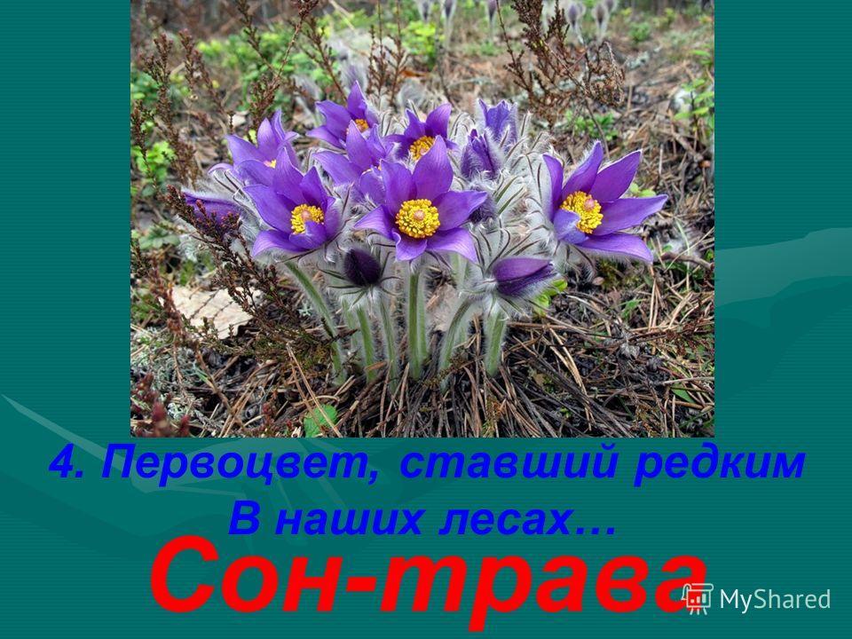 4. Первоцвет, ставший редким В наших лесах… Сон-трава