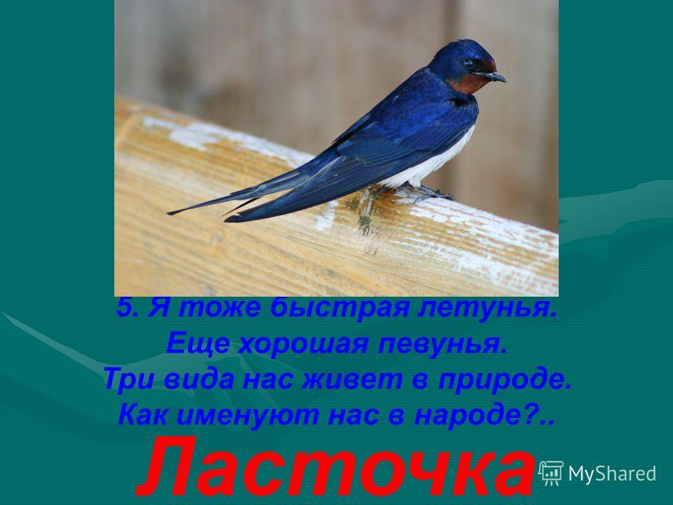 5. Я тоже быстрая летунья. Еще хорошая певунья. Три вида нас живет в природе. Как именуют нас в народе?.. Ласточка