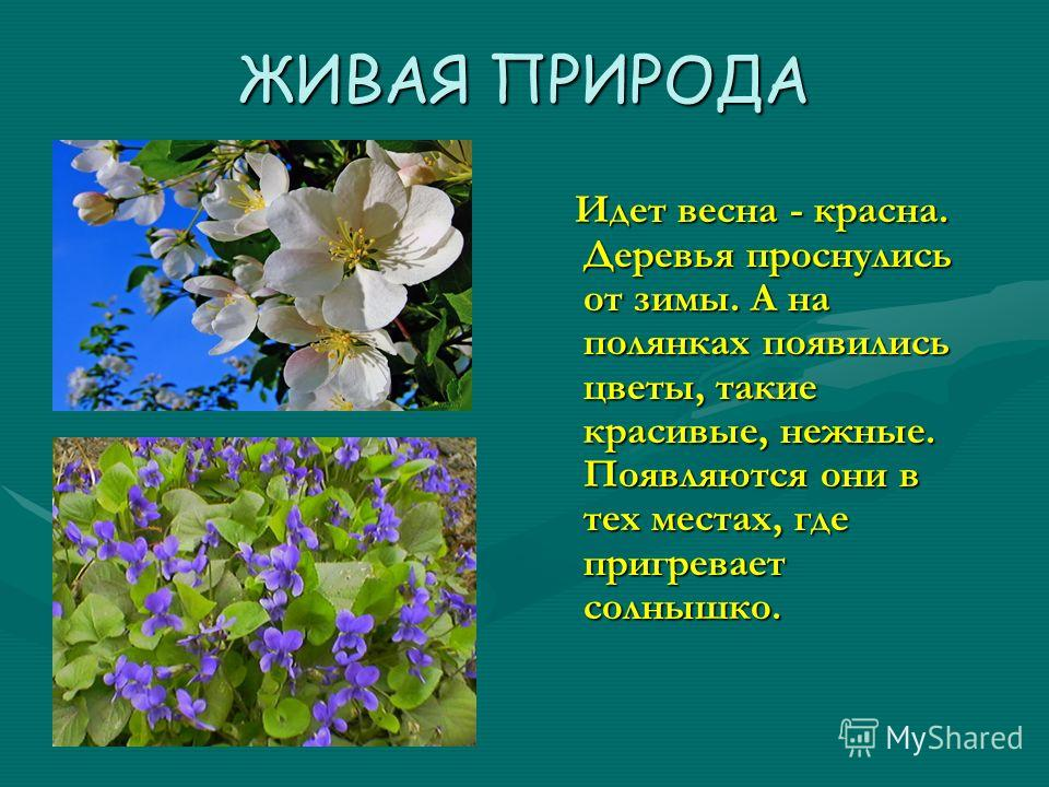 ЖИВАЯ ПРИРОДА Идет весна - красна. Деревья проснулись от зимы. А на полянках появились цветы, такие красивые, нежные. Появляются они в тех местах, где пригревает солнышко.