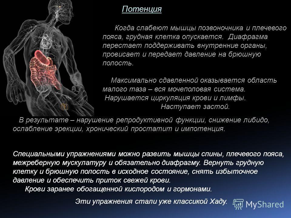 Потенция Когда слабеют мышцы позвоночника и плечевого пояса, грудная клетка опускается. Диафрагма перестает поддерживать внутренние органы, провисает и передает давление на брюшную полость. Максимально сдавленной оказывается область малого таза – вся