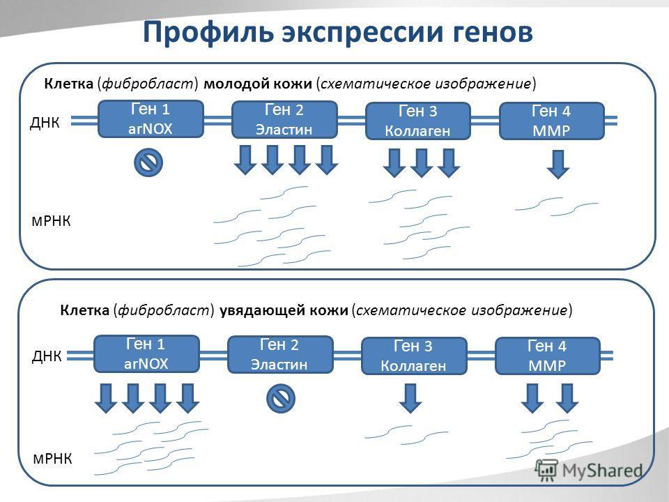 Ген 1 arNOX Ген 2 Эластин Ген 3 Коллаген Ген 4 MMP ДНК м РНК Ген 1 arNOX Ген 2 Эластин Ген 3 Коллаген Ген 4 MMP ДНК м РНК Профиль экспрессии генов Клетка (фибробласт) молодой кожи (схематическое изображение) Клетка (фибробласт) увядающей кожи (схемат
