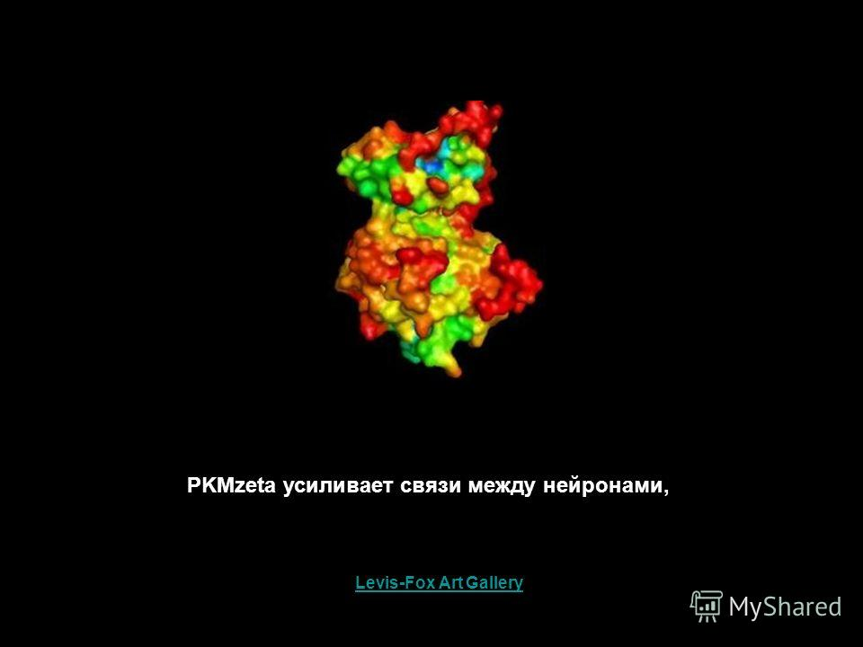 PKMzeta усиливает связи между нейронами, Levis-Fox Art Gallery